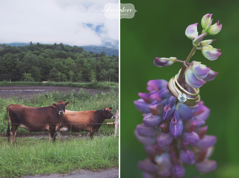 Jersey cows pose for a photo next to a lupine with the wedding rings in Stowe, VT.