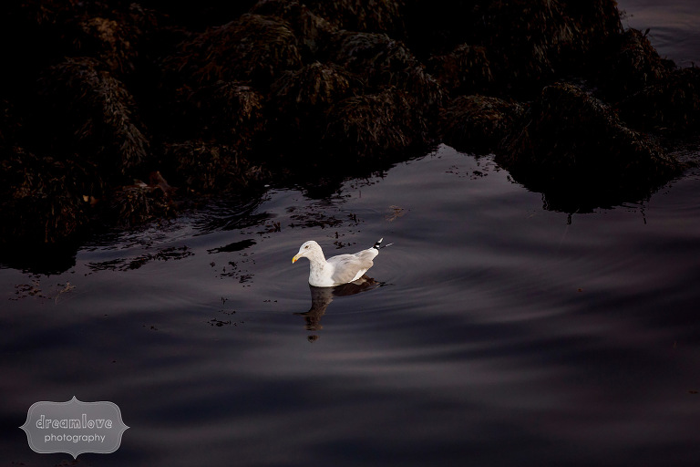 A seagull floats on the dark water during this nature engagement session on the coast of MA.