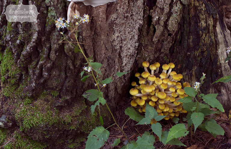 A clump of yellow mushrooms at the base of a tree during an engagement photo session in MA.