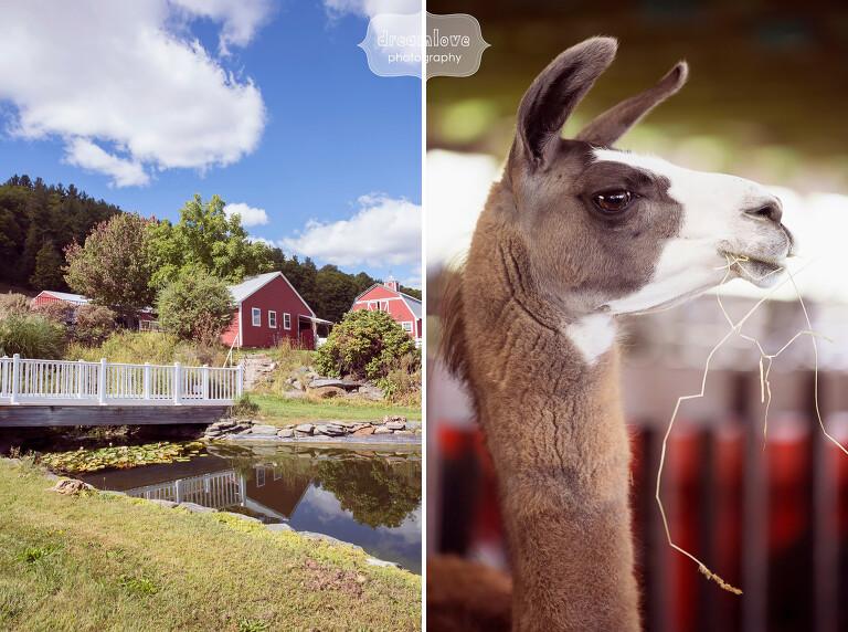 This wedding venue has tons of farm animals, even llamas!