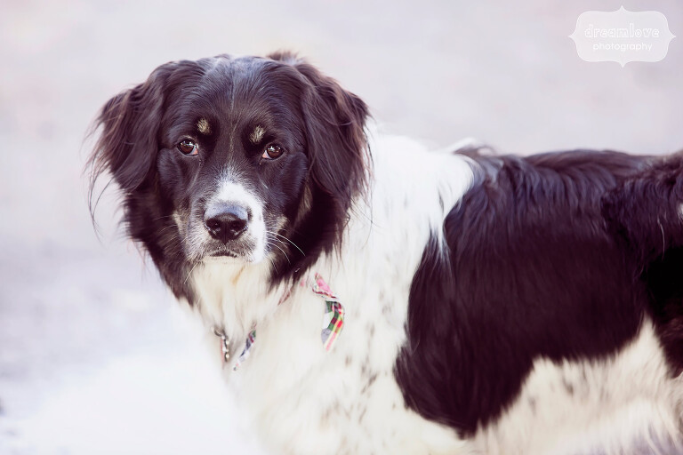 Portrait of Sully, the border collie at this western MA wedding.