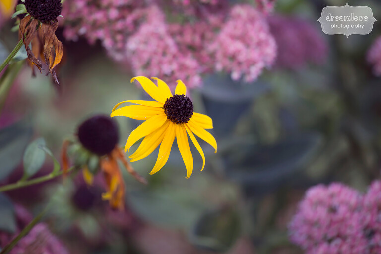 Nature photo of a black-eyed susan flower at this western MA wedding venue, the Warfield House Inn.