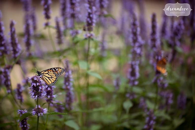 Monarch butterflies in the Italian Garden on purple flowers at the Crane Estate wedding.
