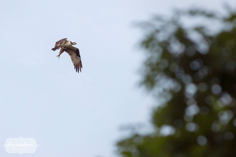 An osprey carries a fish over the forest during this NY camp wedding on Shelter Island.