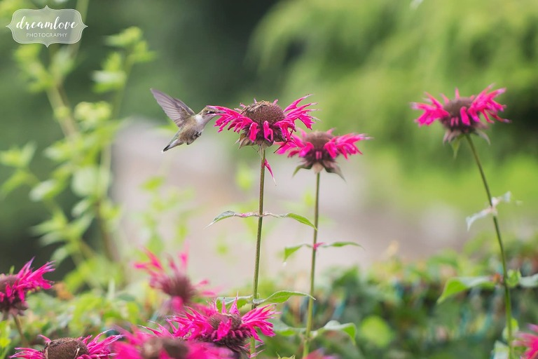 A hummingbird feeds on a bee balm flower during Shelburne Falls engagement photography session.