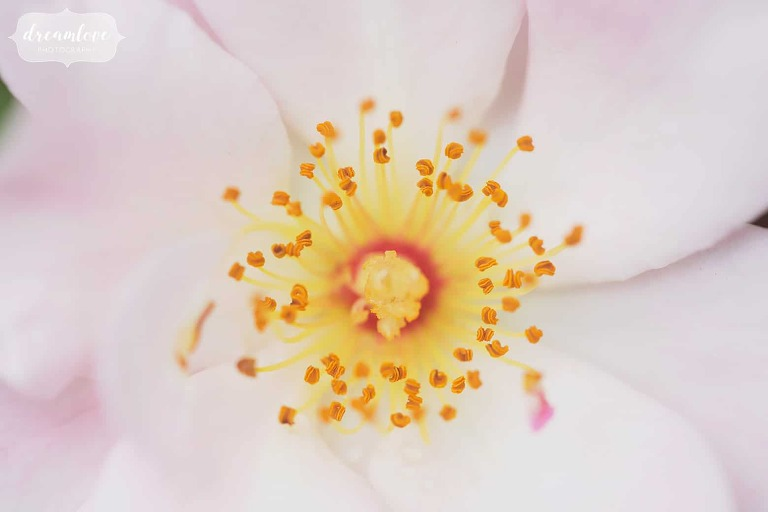 Close up using the Canon 100mm macro lens of the stamens of a flower in Shelburne Falls, MA.