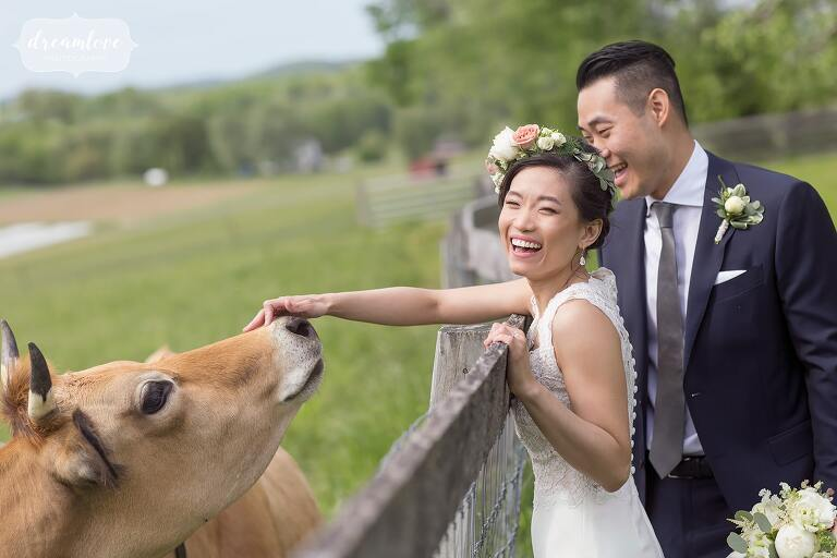 Bride laughs while Jersey cow sniffs her hand at Hudson Valley barn wedding.